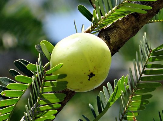 Indian Gooseberry for smooth hair